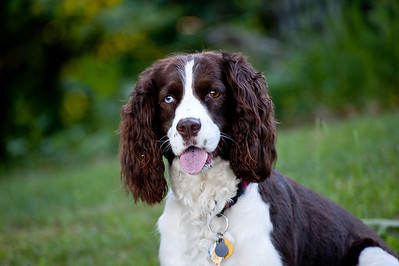 It's All About The Ears (Our Springer Hope)